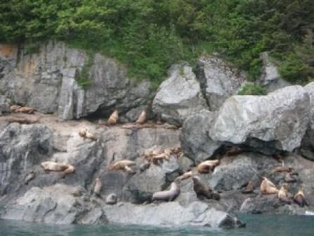 Sea Lion haul-out at Glacier Island