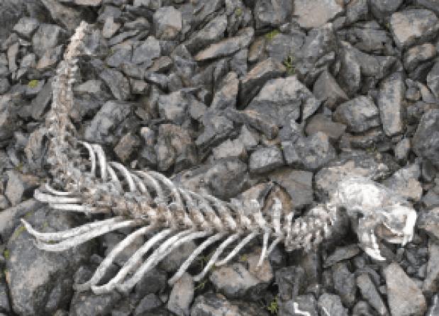 Sea Otter skeleton