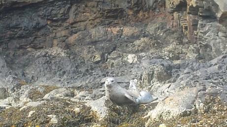 Mother Harbor Seal nursing her newborn pup