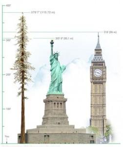 pohon tertinggi