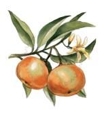 Giardin sul Balcon - bergamota