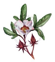 Giardin sul Balcon - hibisco
