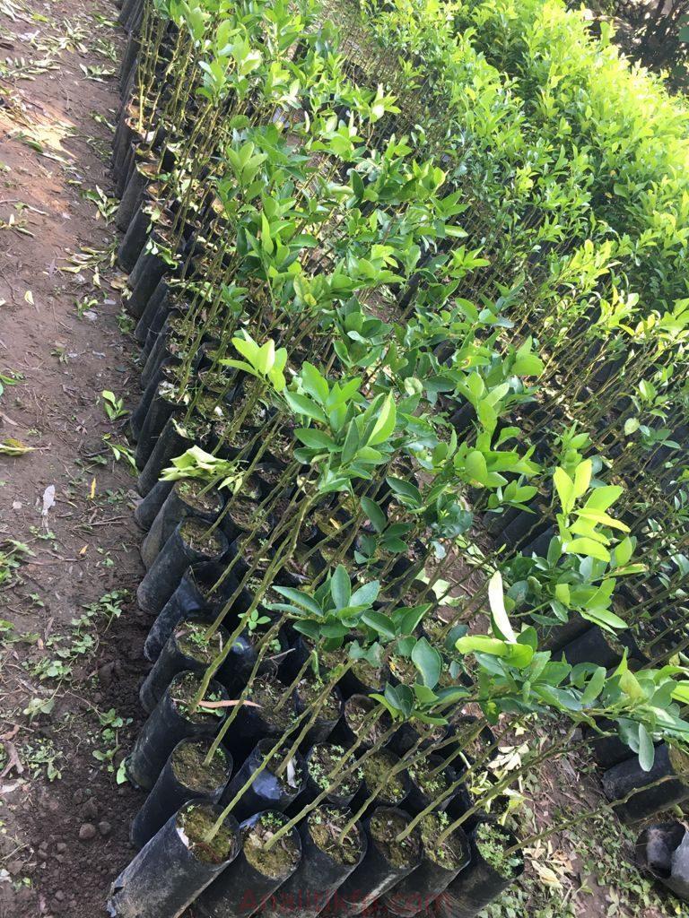 Cincuenta productores reciben planta de limón persa