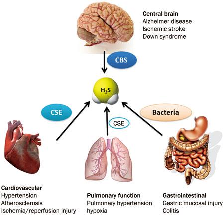 gli effetti dell'H2S su alcuni organi - fonte www.nature.com