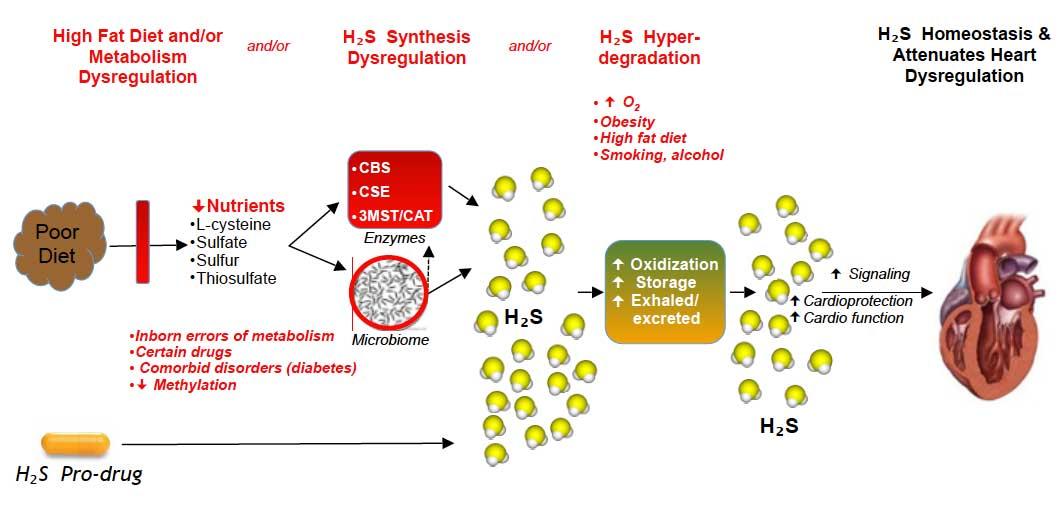 gli effetti dell'idrogeno solforato sul cuore - fonte www.h2shealth.org