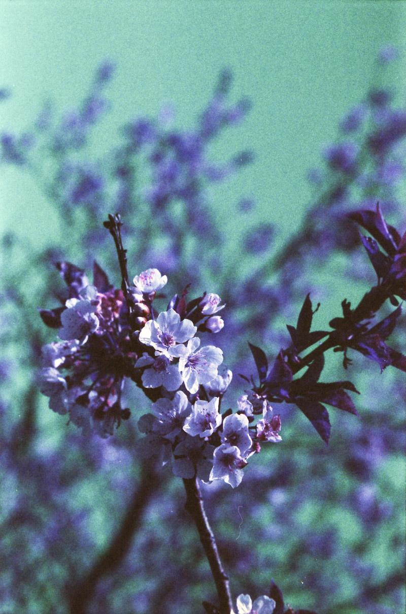Lomochrome Purple Canon EOS 50E bloesem