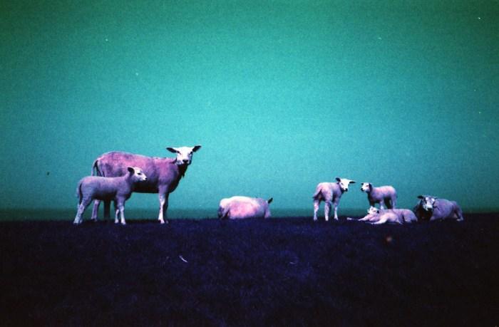 Lomochrome Purple Minolta Hi-Matic AF2 schapen