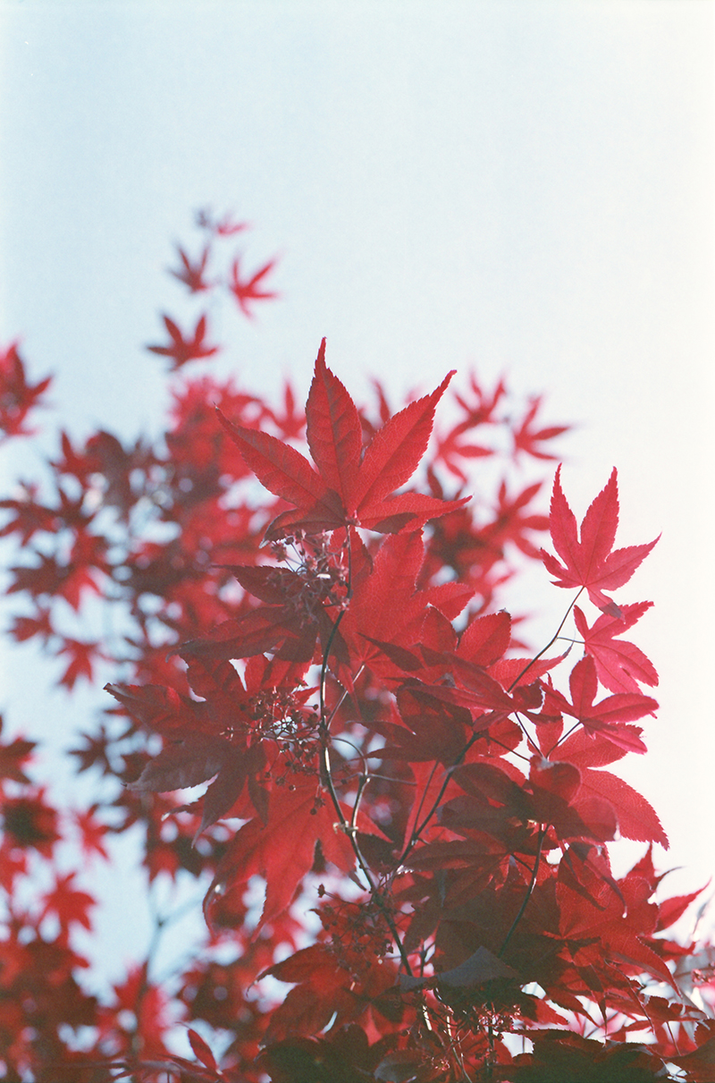 Japanse esdoorn. japanese maple, expired film