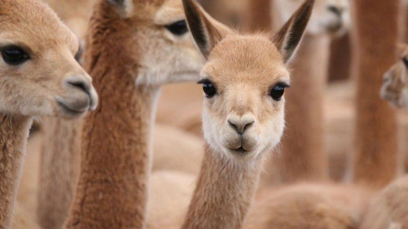 ما هو الحيوان الوطني لدولة البيرو
