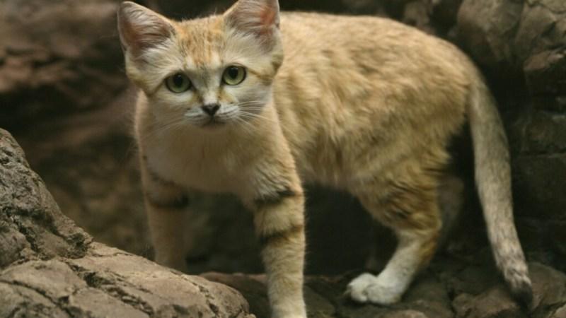 ما هو الحيوان الوطني لدولة أوزبكستان