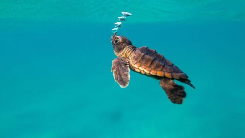 هل السلاحف البحرية مهددة بالانقراض