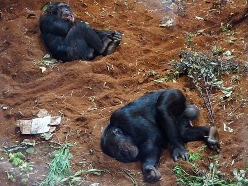 Edinburgh Zoo Nights- Chimpanzee