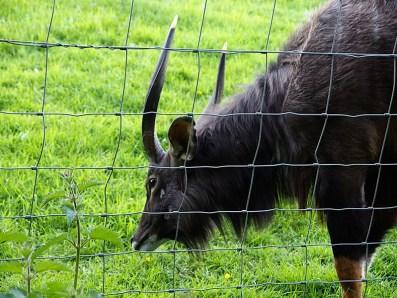 Edinburgh Zoo Nights- Lowland Nyala