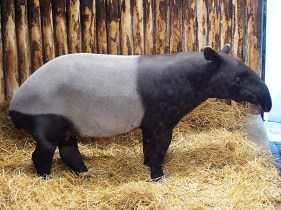 Edinburgh Zoo Nights- Malayan Tapir