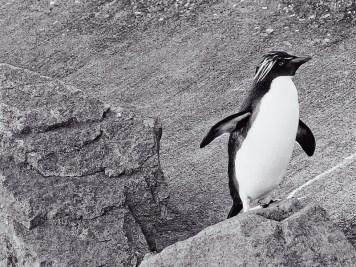 Edinburgh Zoo Nights- Northern Rockhopper Penguin
