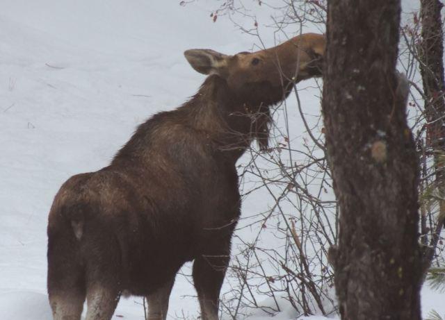 Moose3_Jan 30 17