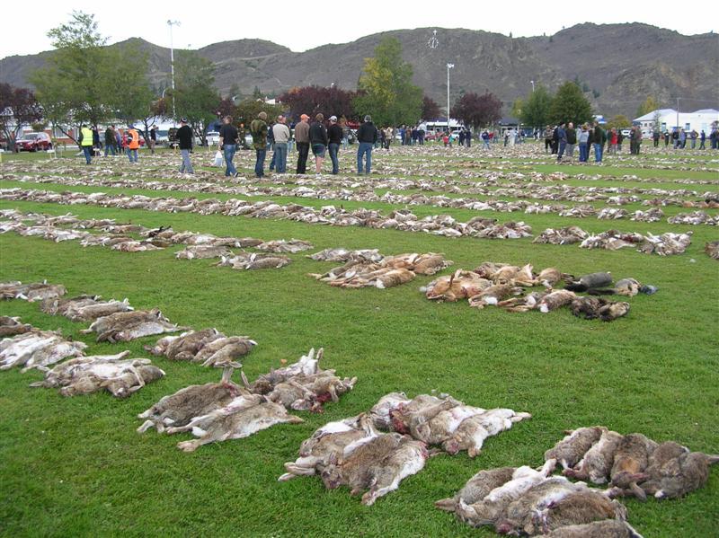Κουνέλια δολοφινημένα από κυνηγούς, στο Οταγκο ΗΠΑ