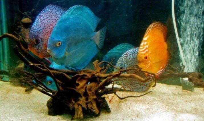 jenis jenis ikan hias air tawar
