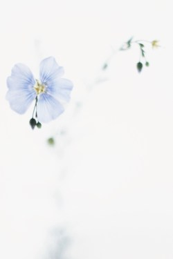 pale blue summer flower / anastasiabenko.com