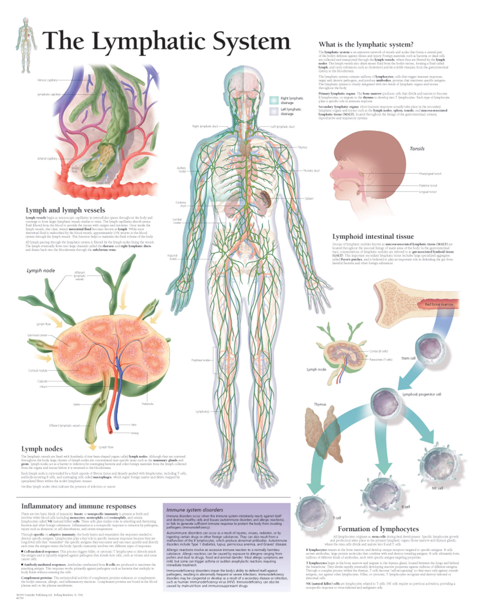 hight resolution of the lymphatic system 2400