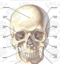 s04001 ant anat skull jpg [ 1000 x 1333 Pixel ]