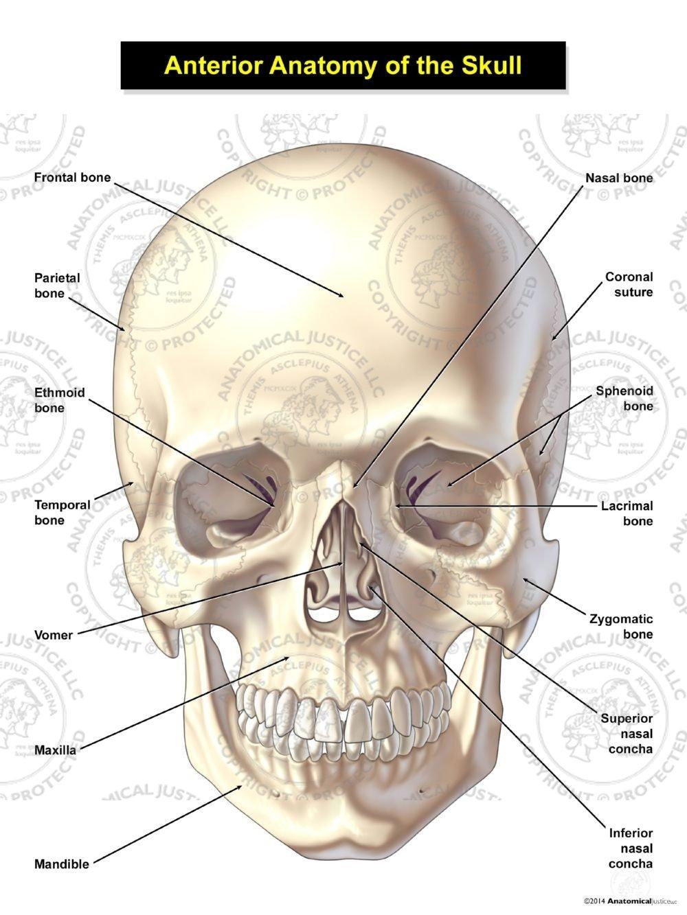 medium resolution of s04001 ant anat skull jpg
