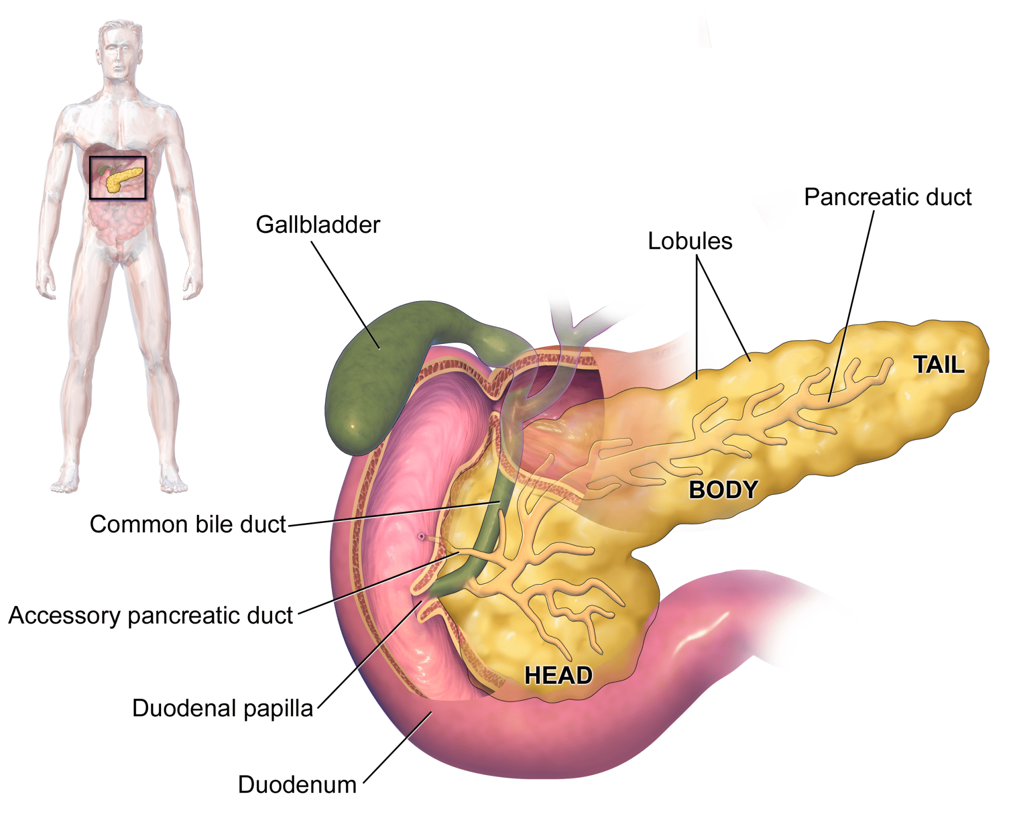 hight resolution of structure of digestive system