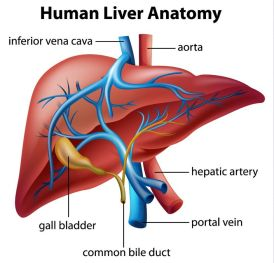 Image result for liver