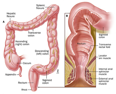 cow digestive tract diagram john deere 317 wiring the rectum | anatomy of physiology histology ...