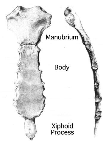 Body Of Sternum Diagram The Sternum Anatomy Of The Sternum Anatomy Medicine Com