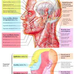 Nerves In Neck And Shoulder Diagram Pt Cruiser Wiring Pdf The Of Head Anatomy