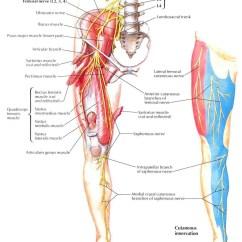 Diagram Of Sciatic Nerve Pathway Balanced Xlr To Unbalanced 1 4 Wiring The Femoral Anatomy