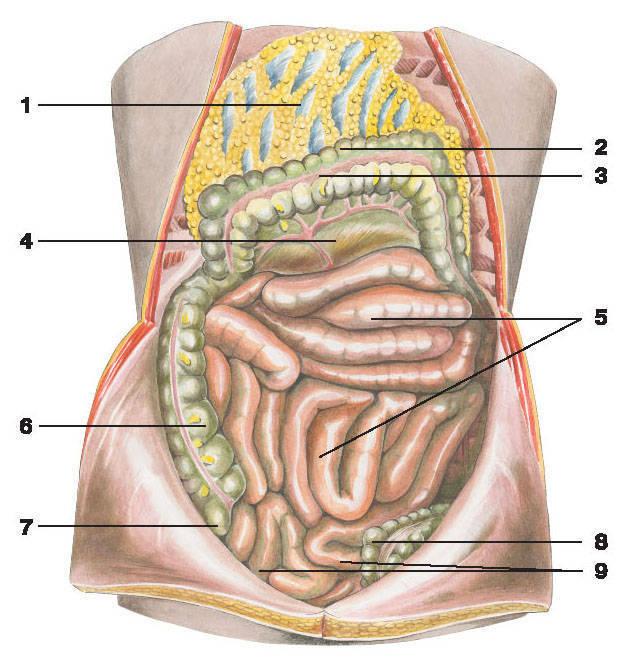 Smochin. 171. Overhead, Skinny și Ileum: 1 - Glandă mare; 2 - Colon transversal; 3 - panglica gratuită a colonului; 4 - Mesenter al colonului transversal; 5 este un intestin slab; 6 - Colon ascendent; 7 - intestin orb; 8 - colon sigmoid; 9 - iliac.