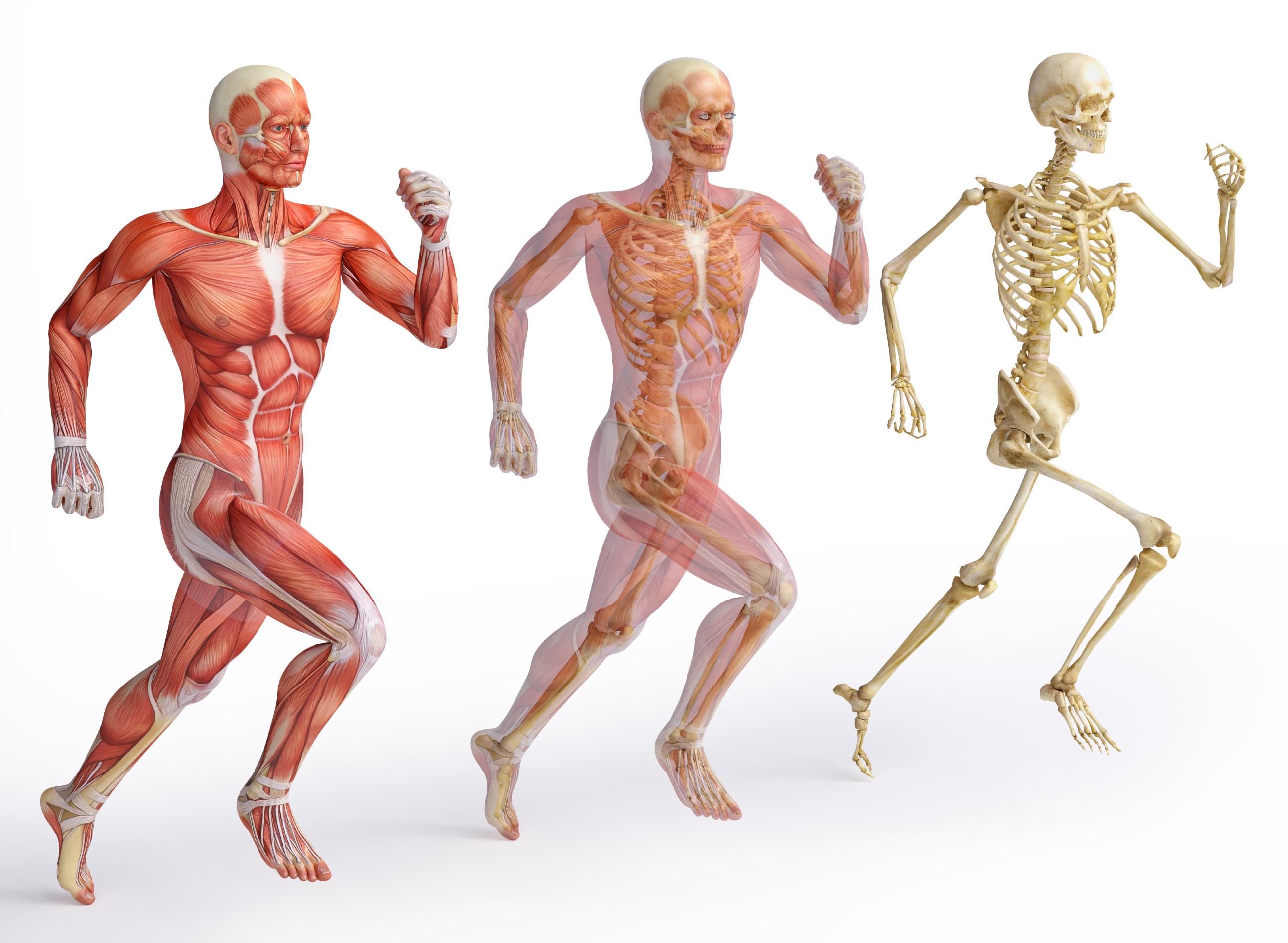 Musculoskeletal System Anatomy Academy