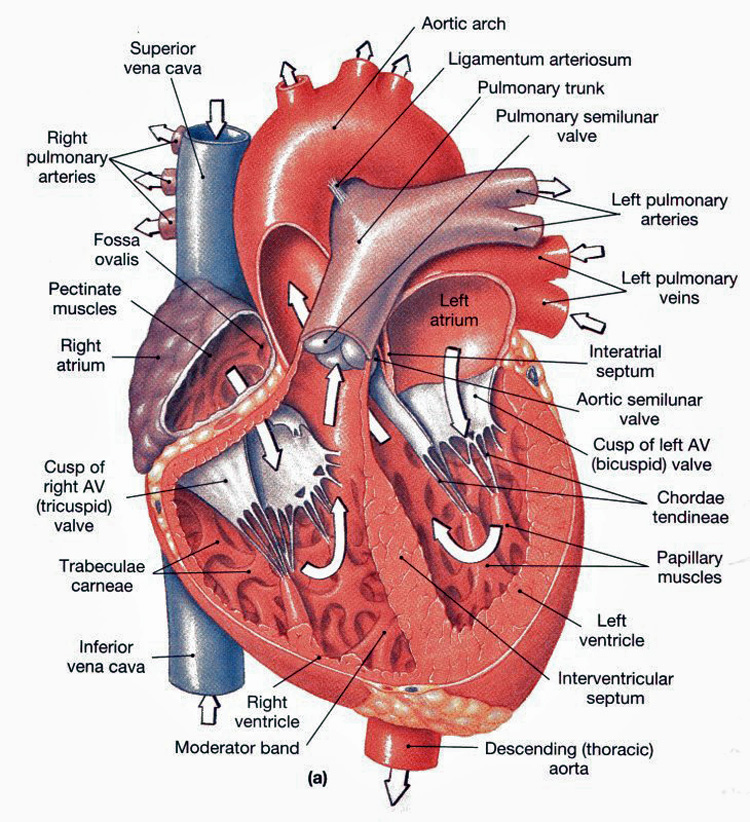 anatomical heart diagram subaru impreza exhaust system anatomy chambers valves and vessels physiology frontal section