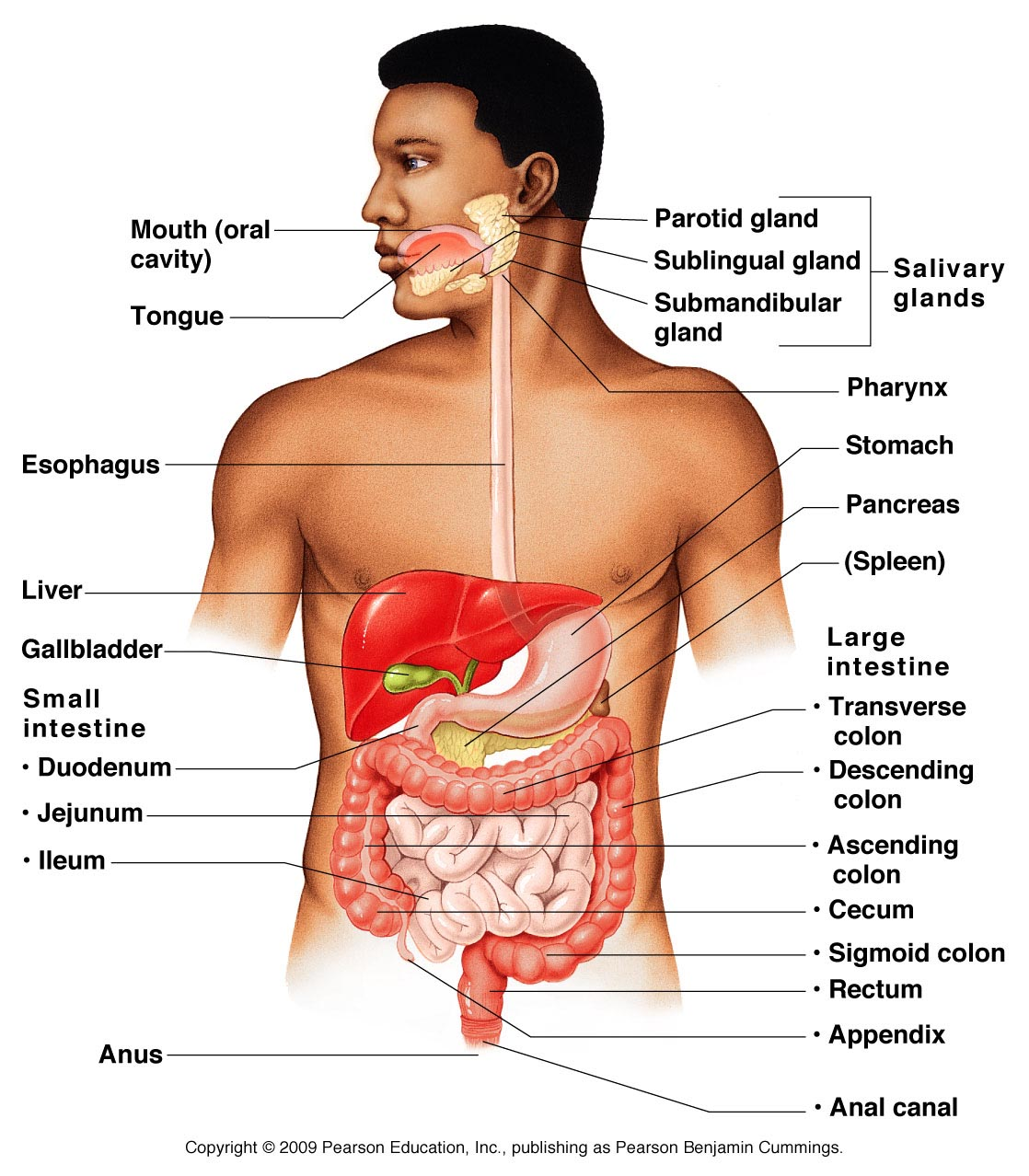 hight resolution of alimentary canal and accessory digestive organs