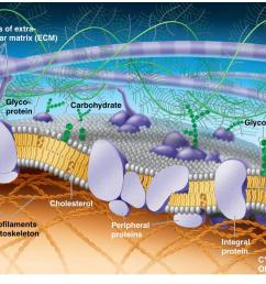 the plasma membrane the lipid bilayer forms the basic structure  [ 1402 x 902 Pixel ]