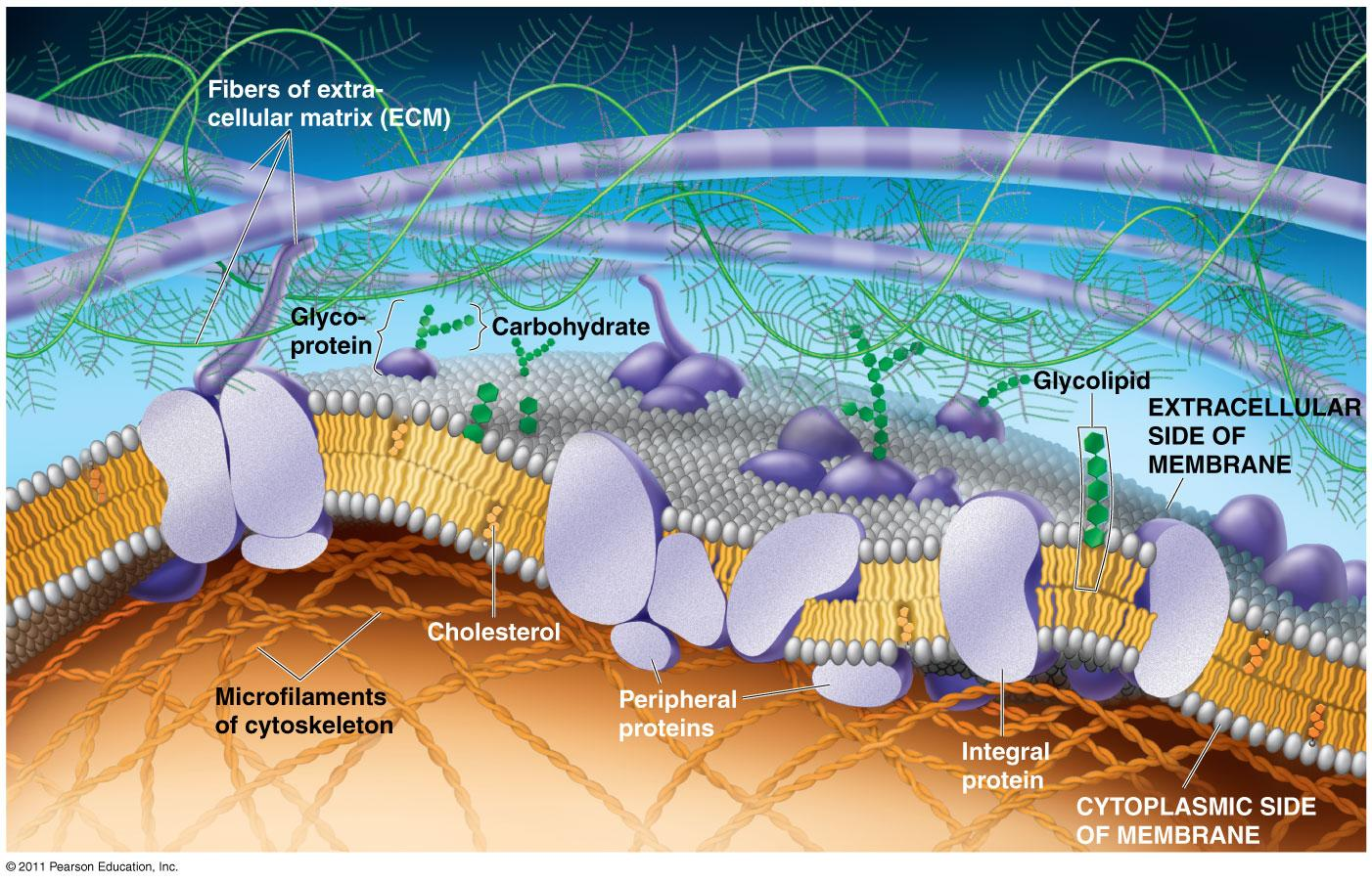 hight resolution of the plasma membrane the lipid bilayer forms the basic structure