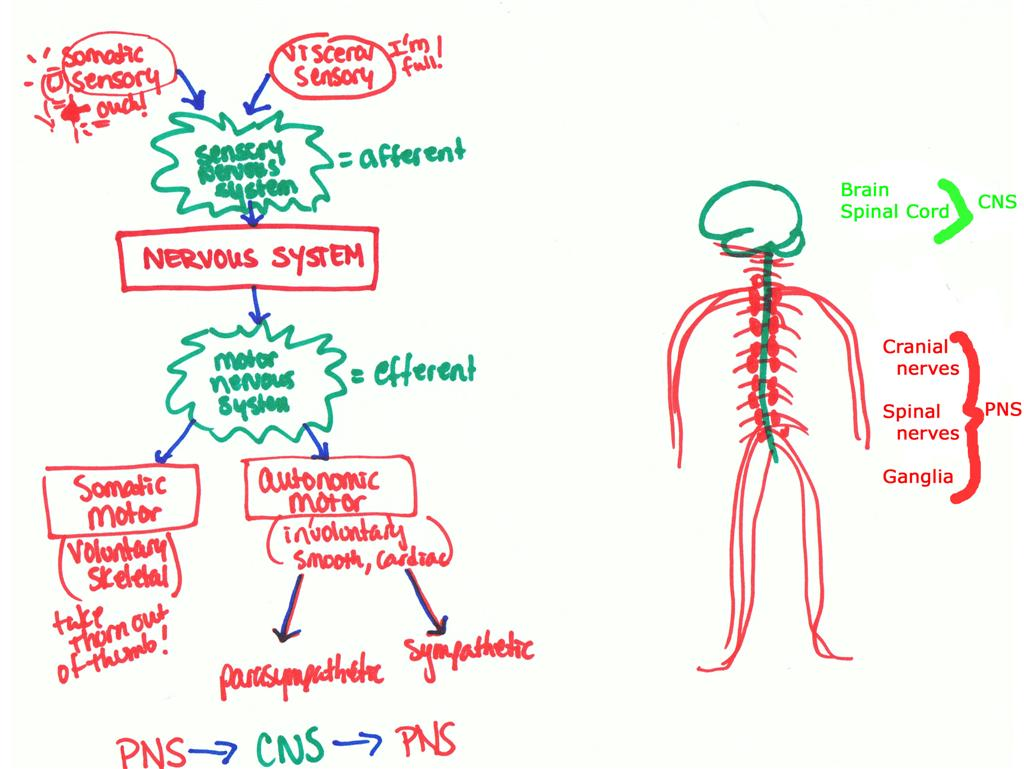 Nervous System Organization Worksheet Anatomy Andy