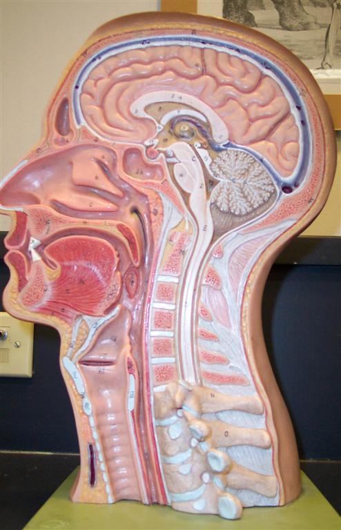Vein Diagram With 3 General Human Anatomy Lab Anatomy Andy Si Sullivan