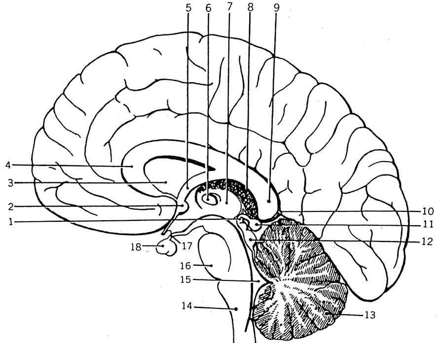 Quiz: Brain – Sagittal View