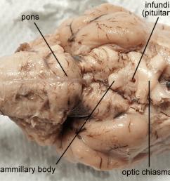 brain sheep chiasma 1280px labeled fw png [ 1280 x 666 Pixel ]