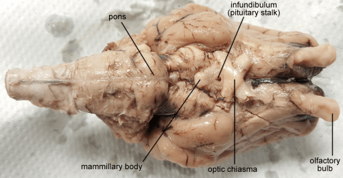 small resolution of brain sheep chiasma 1280px labeled fw png