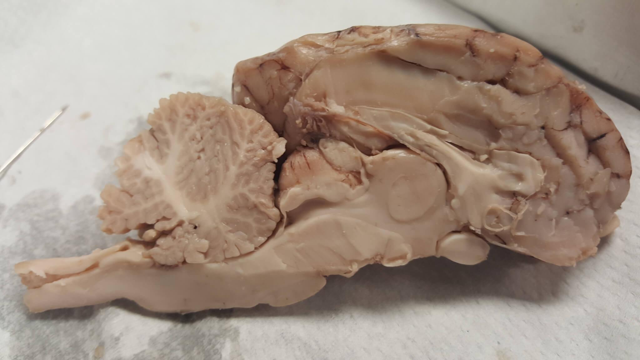 Sheep Brain Diagram Unlabeled