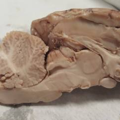 Sheep Brain Diagram Biology Corner Cross Section Of Muffler  Anatomy