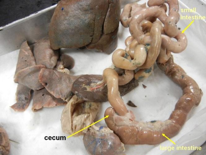 Cat Dissection Digestive System Quiz The Best Cat 2018