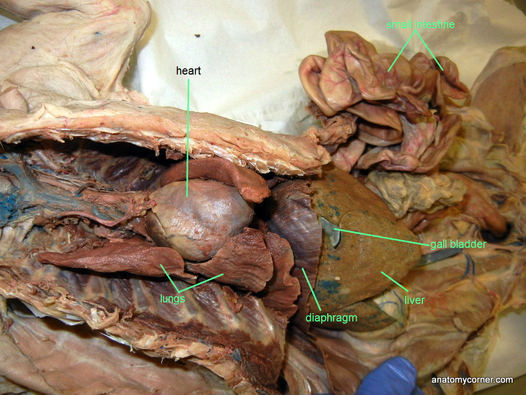 Cat Dissection Pancreas