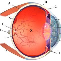 Label The Eye Diagram Answers Wye Delta Starter Wiring Pupil U2013 Anatomy Cornerlabel
