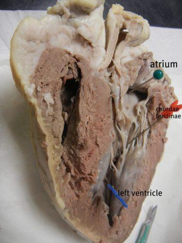 Beef Steer Diagram Sheep Heart