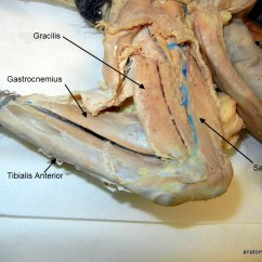 Cat Dissection Muscle Diagram Back Car Audio Wiring Diagrams Muscles Anatomy Corner